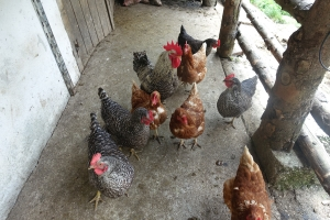 Chickens at the dairy!!!!