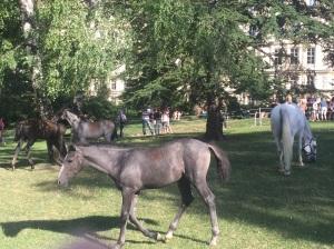 Lipizzaner horses in Vienna